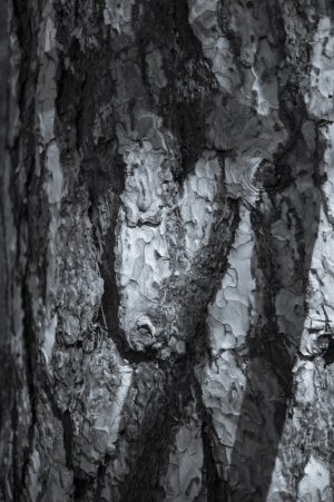 Conifer Bark