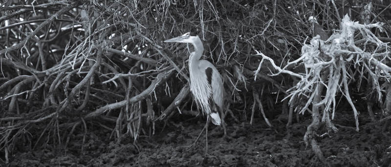 Heron In The Mangroves
